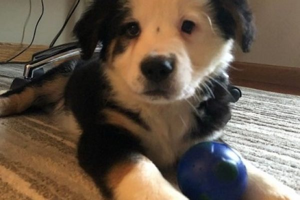 Is Australian Shepherd Great Pyrenees Mix a great Guard Dog?