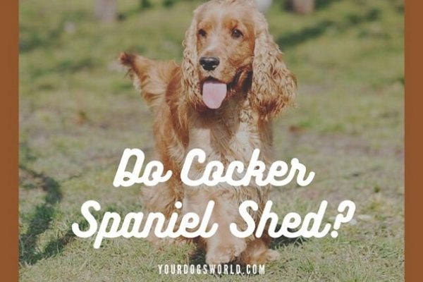 Do Cocker Spaniels Shed? Tips to control shedding