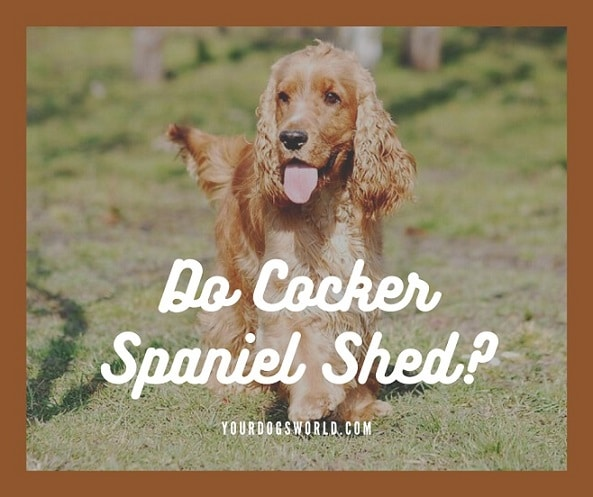Do Cocker Spaniels Shed