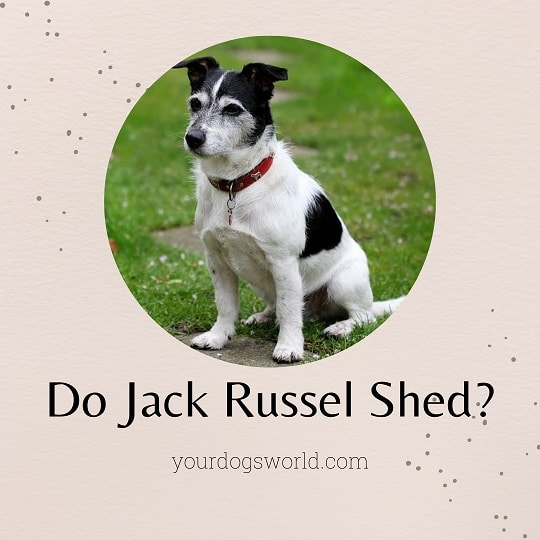 Are Jack Russell Terriers Hypoallergenic