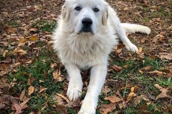 Do the Great Pyrenees Shed? 4 Tips to manage