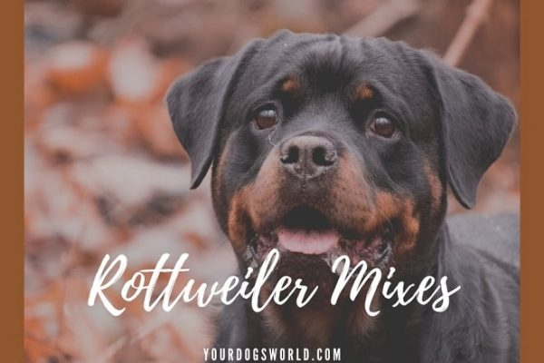 Top 10 Rottweiler mixes that you must have a look