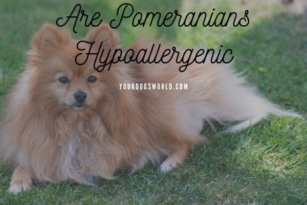 Are Pomeranians Hypoallergenic – Tips & Tricks to reduce allergens