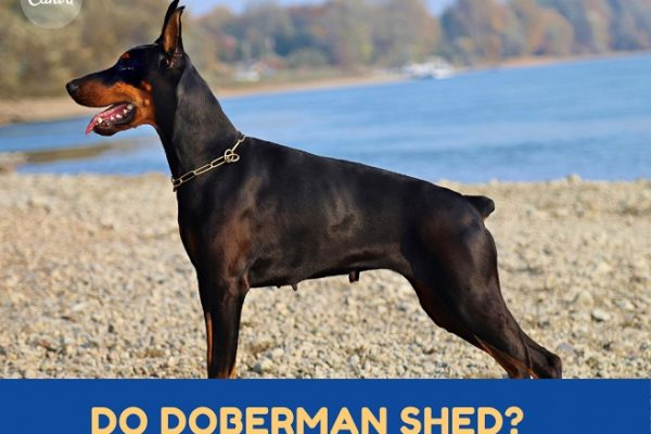 Do Dobermans Shed? How to maintain the Doberman coat?