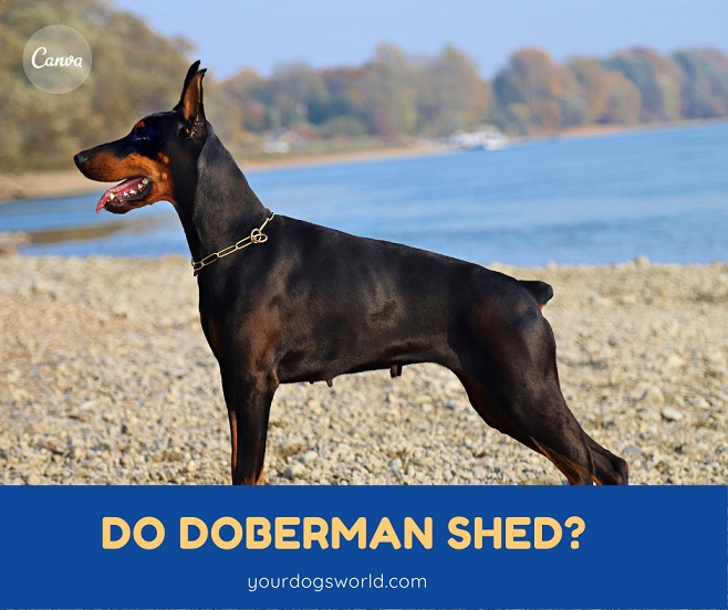 Do Dobermans Shed