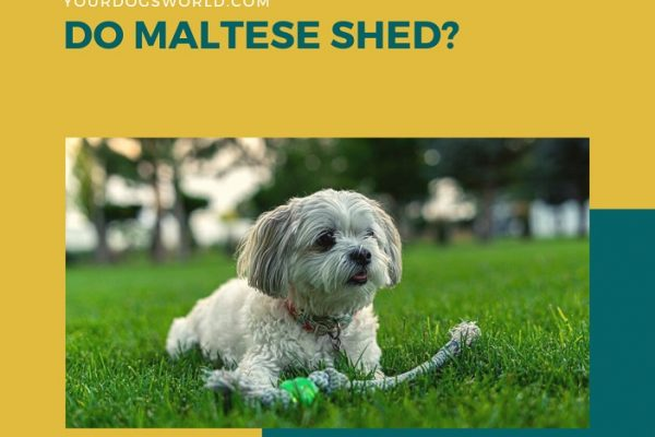 Do Maltese Shed? Tricks to Manage Shedding and Grooming