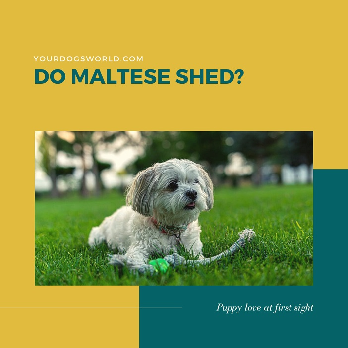 Do Maltese Shed