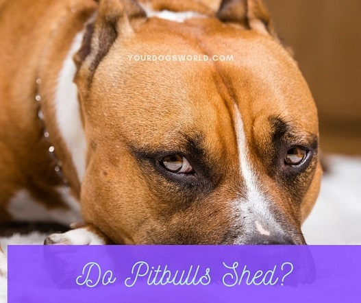 Do Pitbulls shed
