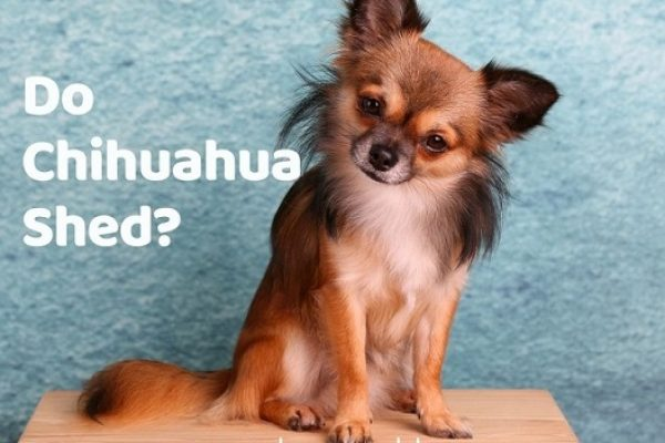 Do Chihuahuas Shed? Tips & Tricks to manage Chihuahua hair fall