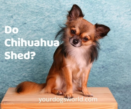 Do chihuahuas shed