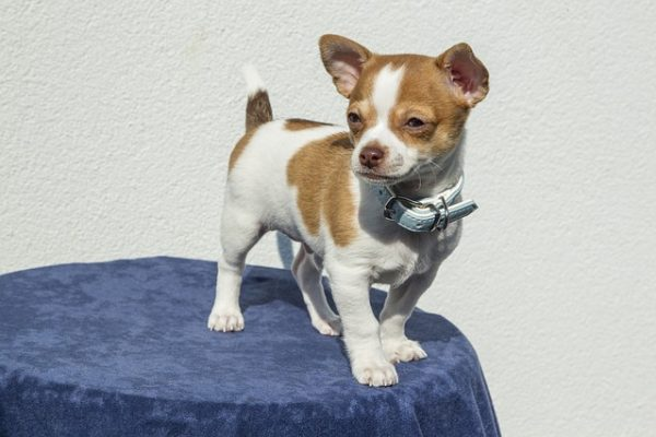 How big do Chihuahuas get? Height, weight & info of 15 Chihuahua mix