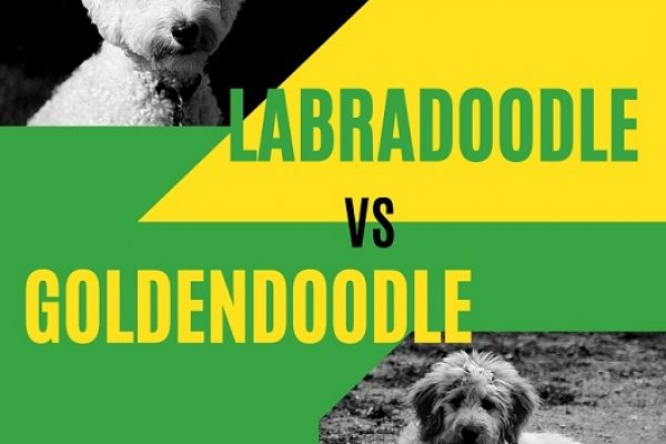 Labradoodle vs Goldendoodle. Which one should you choose?