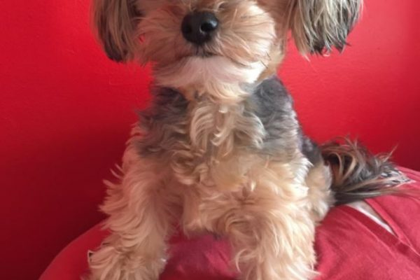 Maltese Yorkie Mix aka Morkie: All you want to know