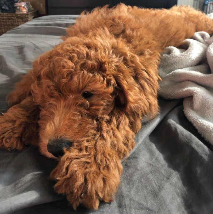 Red-goldendoodle