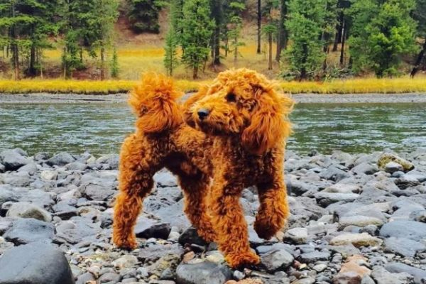 18 Amazing Red Goldendoodle Facts
