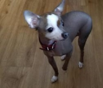 Chinese Crested Chihuahua Mix