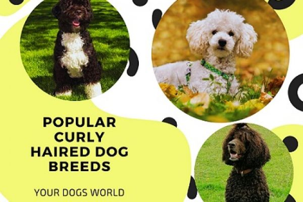 15 Popular Curly Haired Dog Breeds – 2021