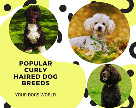 Popular Curly Haired Dog Breeds