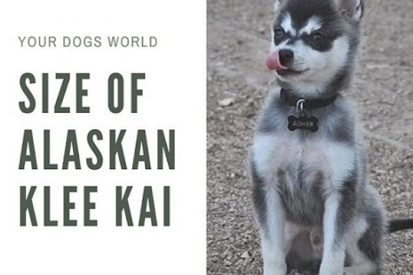 What is the size and cost of Alaskan Klee Kai?