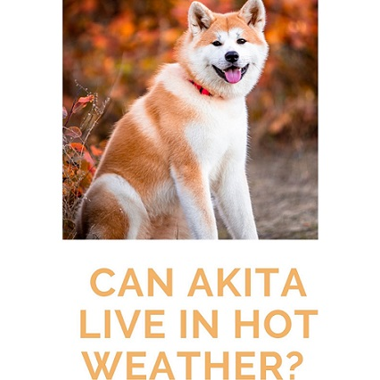 Can Akita Live in Hot Weather