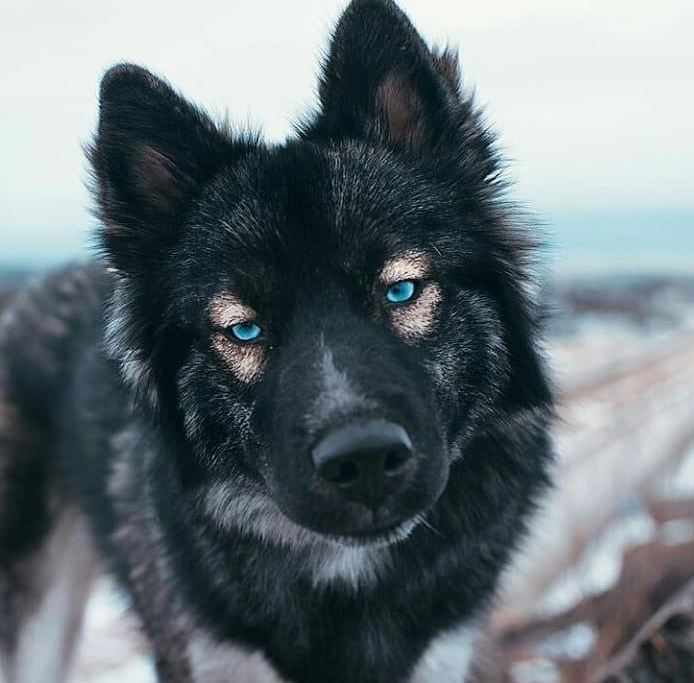 German Shepherds Blue Eyes 2