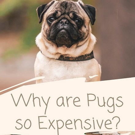 Why Pugs Are So Expensive