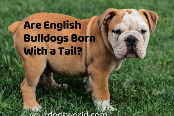 Are English Bulldogs Born With a Tail Or Are They Docked?
