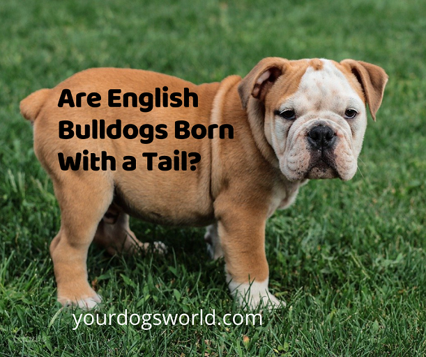 Are English Bulldogs Born With a Tail