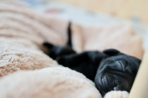 Why do Pugs Sleep So Much? What's The Reason?
