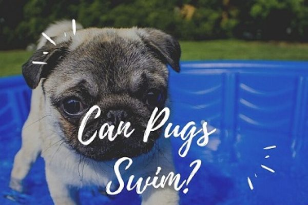 Can Pugs Swim? Are Pugs Good At Swimming?
