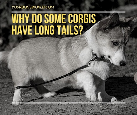 Why Do Some Corgis Have Long Tails