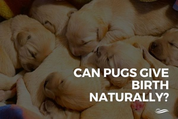 Can Pugs Give Birth Naturally? Pug Pregnancy Facts