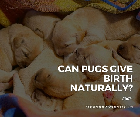 Can Pugs Give Birth Naturally