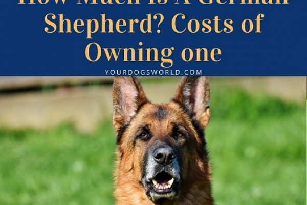 How Much Is A German Shepherd? Costs of Owning one