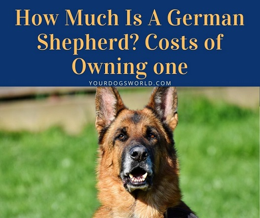 How Much Is A German Shepherd Costs of Owning one